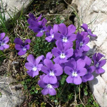 Flora Carpatilor 7