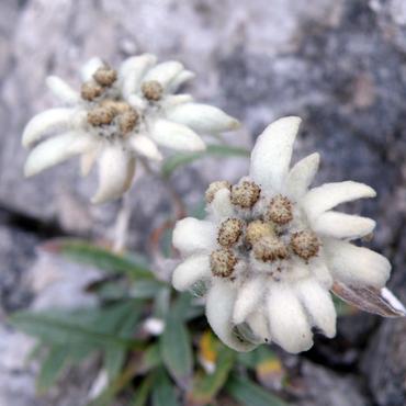 Flora Carpatilor 6